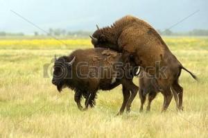 Bizonii Apia
